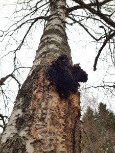 Chaga Pilz am Baum in Lappland