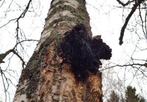 Wilder Chaga Pilz an einem Baum in Lappland